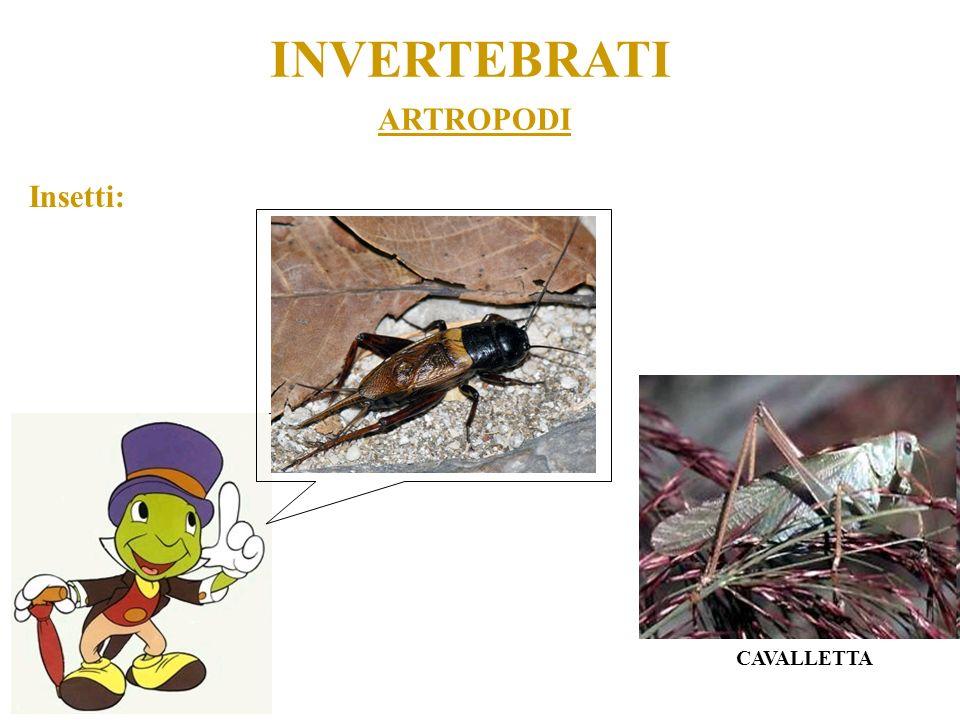 INVERTEBRATI ARTROPODI Insetti: CAVALLETTA