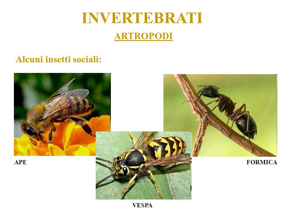 INVERTEBRATI ARTROPODI Alcuni insetti sociali: APE FORMICA VESPA