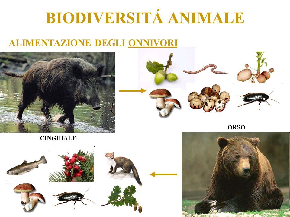 BIODIVERSITÁ ANIMALE ALIMENTAZIONE DEGLI ONNIVORI ORSO CINGHIALE