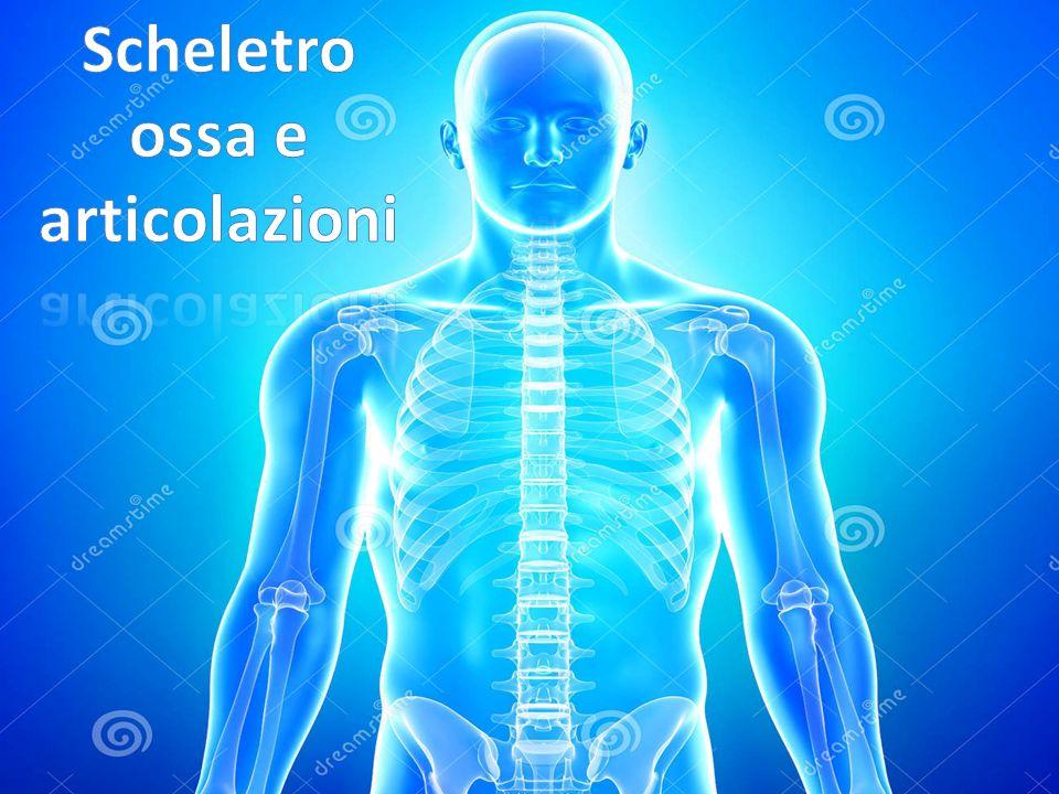 Scheletro ossa e articolazioni