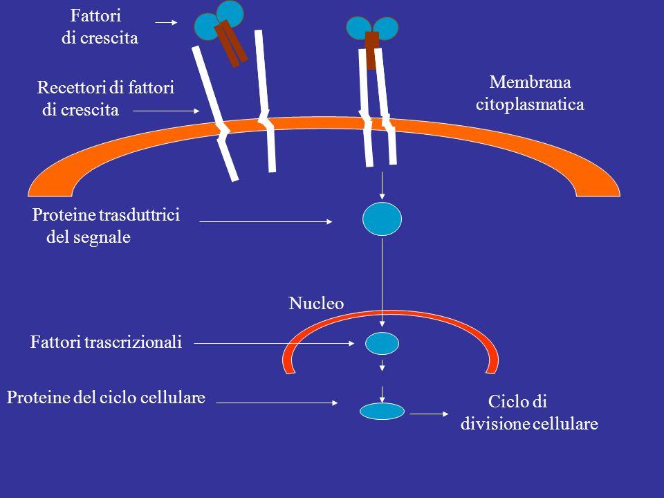 Fattori di crescita. Membrana. citoplasmatica. Recettori di fattori. di crescita. Proteine trasduttrici.