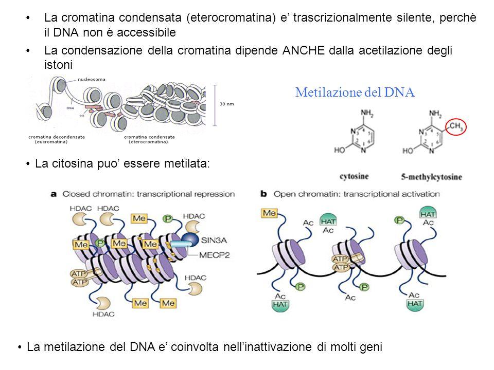 La cromatina condensata (eterocromatina) e' trascrizionalmente silente, perchè il DNA non è accessibile