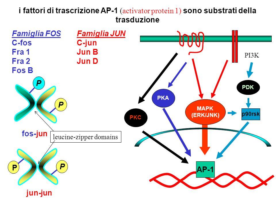 i fattori di trascrizione AP-1 (activator protein 1) sono substrati della trasduzione