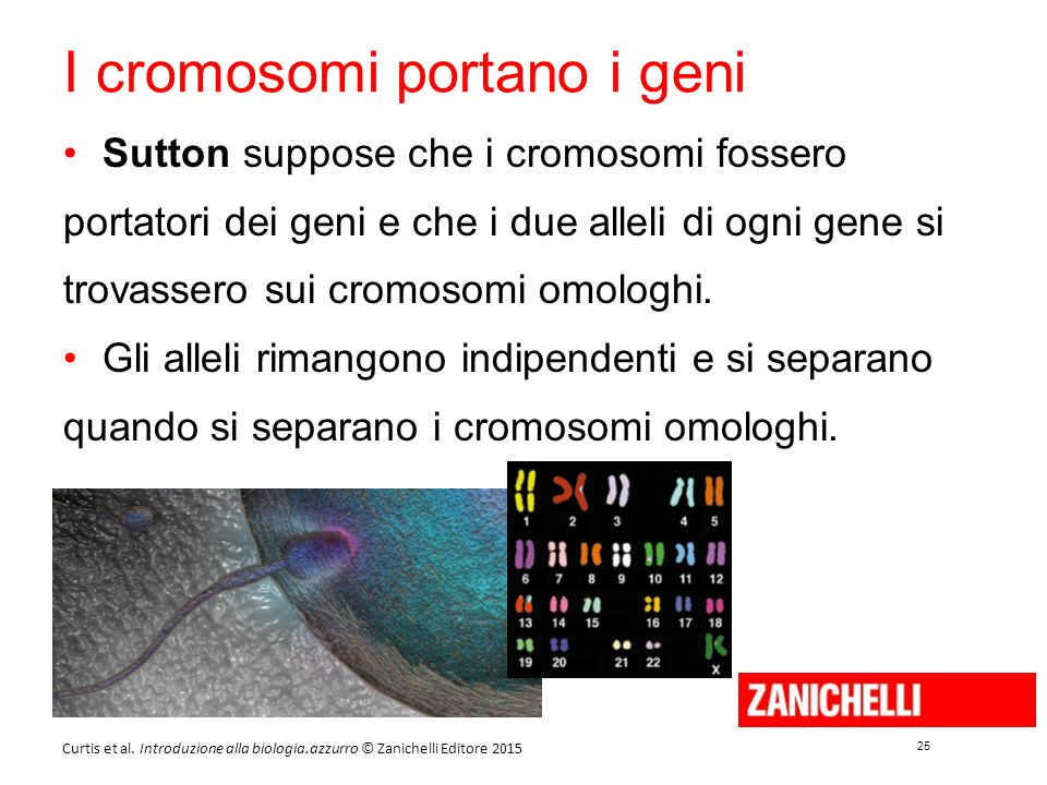 I cromosomi portano i geni