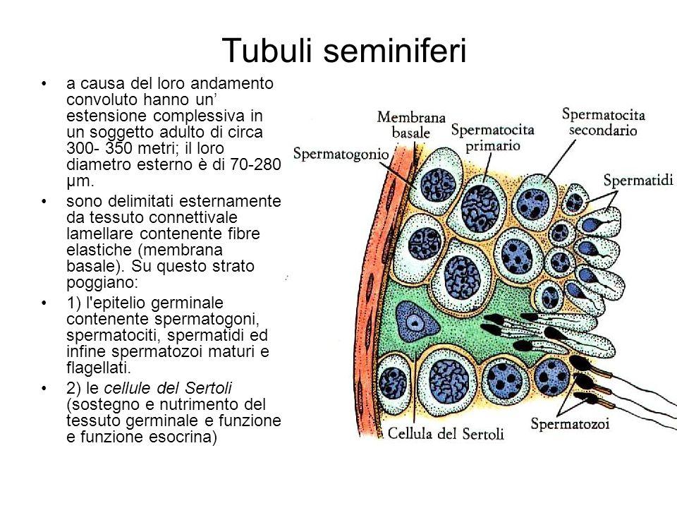 Tubuli seminiferi