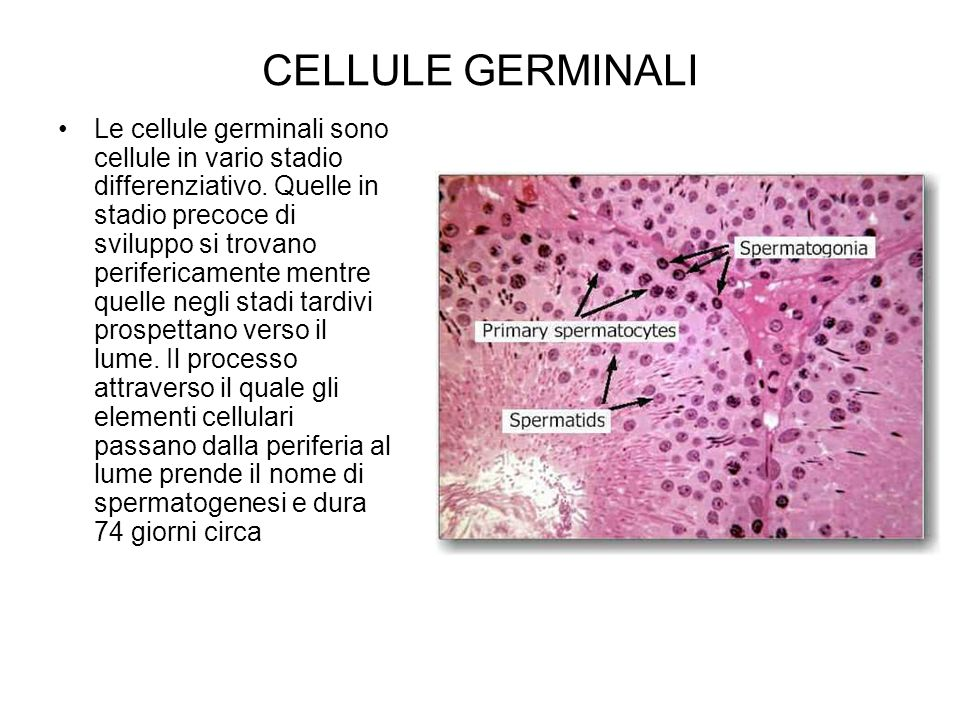 CELLULE GERMINALI