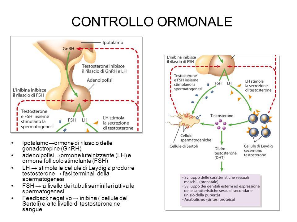 CONTROLLO ORMONALE Ipotalamo→ormone di rilascio delle gonadotropine (GnRH)