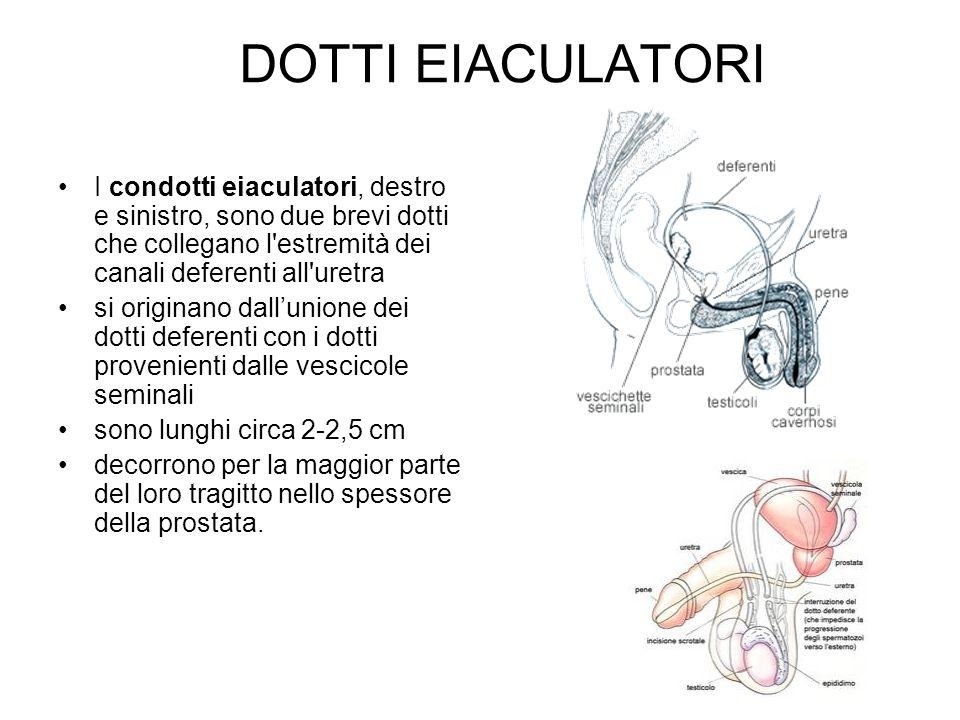 DOTTI EIACULATORI I condotti eiaculatori, destro e sinistro, sono due brevi dotti che collegano l estremità dei canali deferenti all uretra.