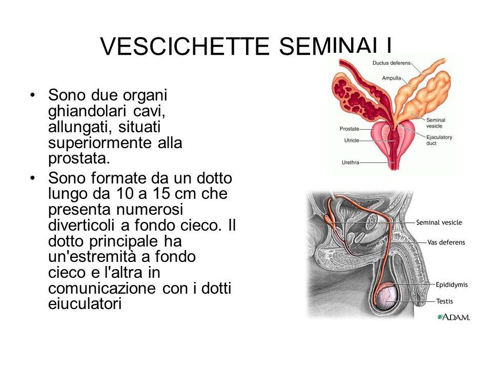 VESCICHETTE SEMINALI Sono due organi ghiandolari cavi, allungati, situati superiormente alla prostata.