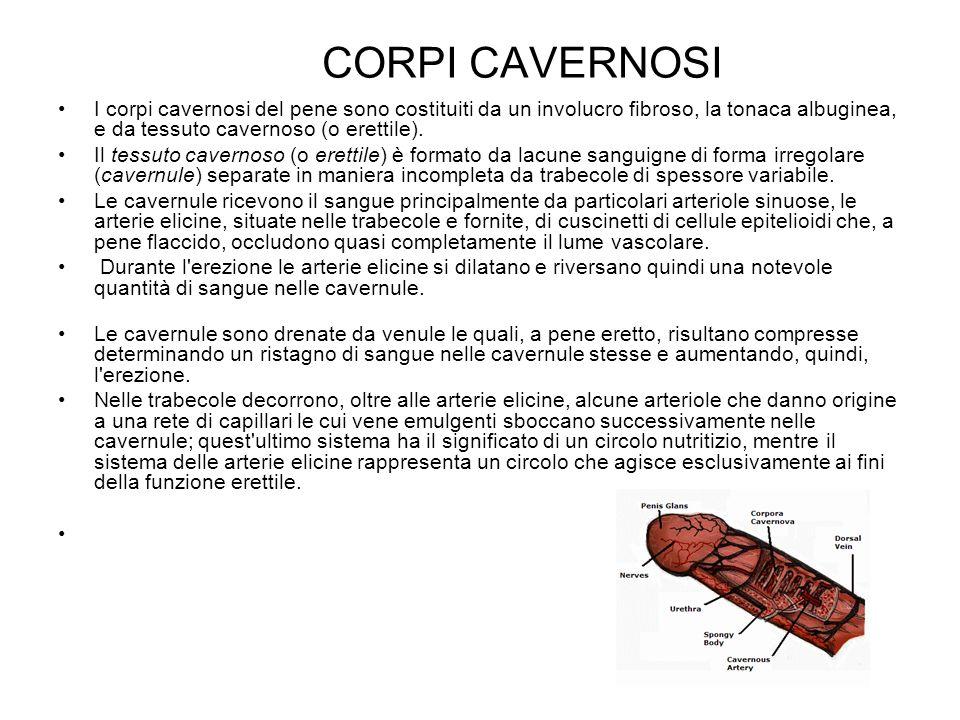 CORPI CAVERNOSI I corpi cavernosi del pene sono costituiti da un involucro fibroso, la tonaca albuginea, e da tessuto cavernoso (o erettile).