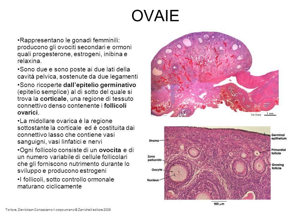 OVAIERappresentano le gonadi femminili: producono gli ovociti secondari e ormoni quali progesterone, estrogeni, inibina e relaxina.
