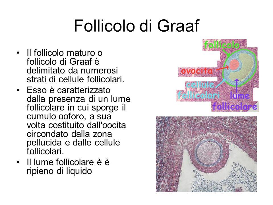 Follicolo di GraafIl follicolo maturo o follicolo di Graaf è delimitato da numerosi strati di cellule follicolari.