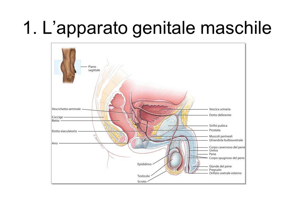 1. L'apparato genitale maschile
