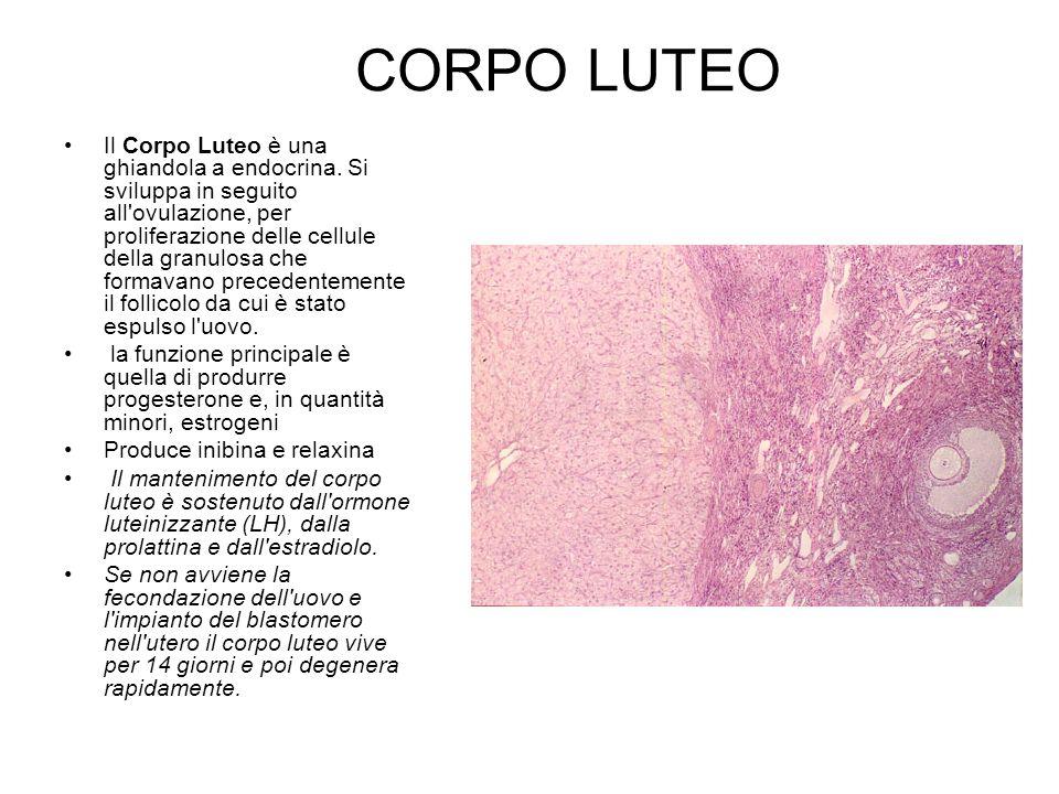 CORPO LUTEO