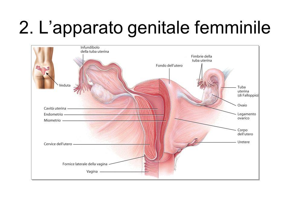 2. L'apparato genitale femminile