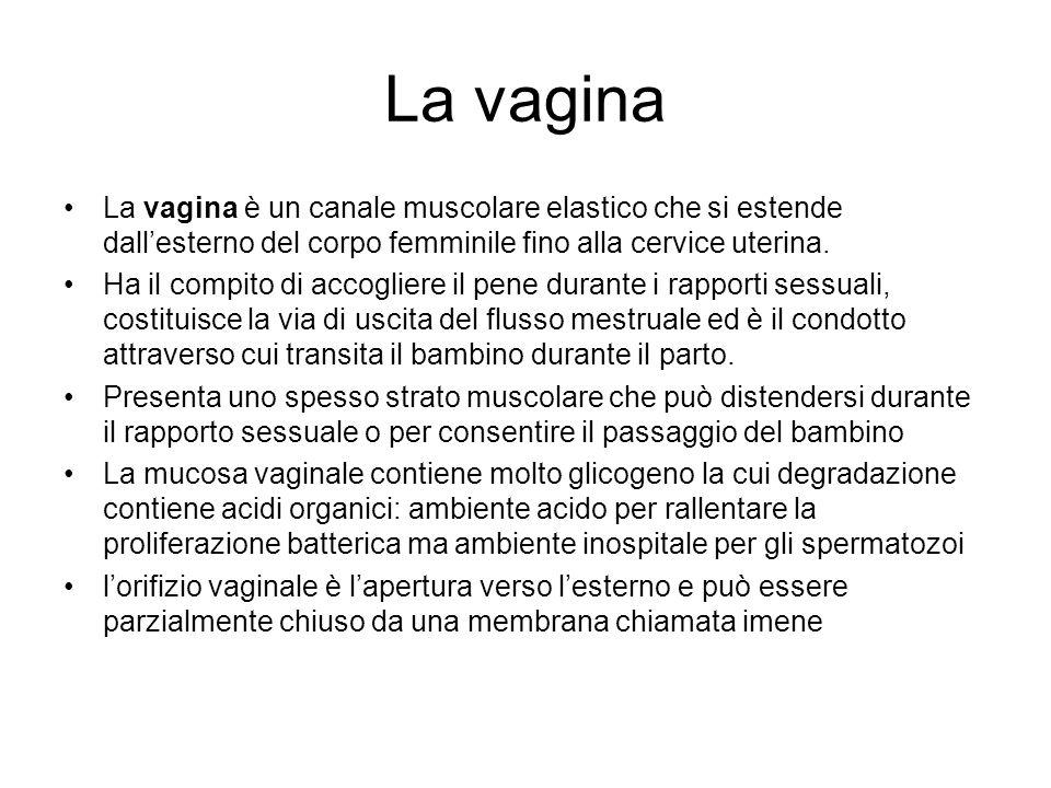 La vagina La vagina è un canale muscolare elastico che si estende dall'esterno del corpo femminile fino alla cervice uterina.