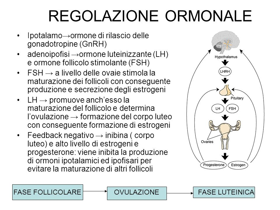 REGOLAZIONE ORMONALE Ipotalamo→ormone di rilascio delle gonadotropine (GnRH)
