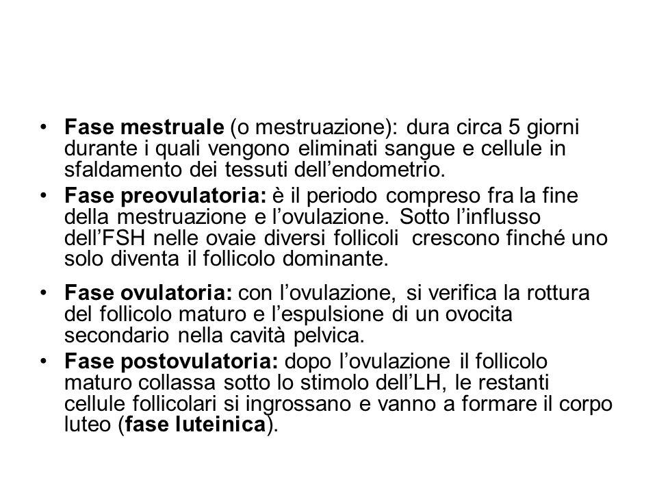 Fase mestruale (o mestruazione): dura circa 5 giorni durante i quali vengono eliminati sangue e cellule in sfaldamento dei tessuti dell'endometrio.