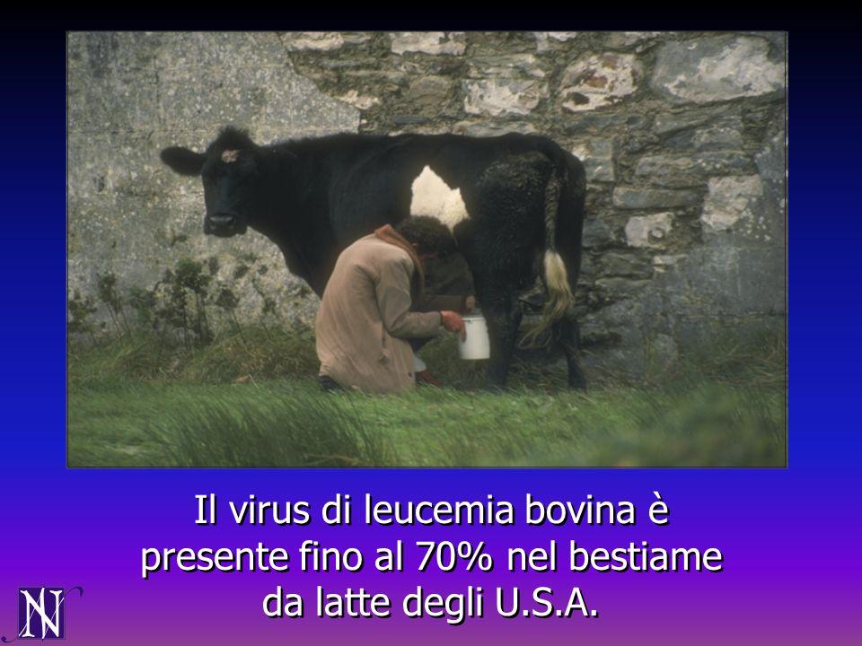 Il virus di leucemia bovina è presente fino al 70% nel bestiame da latte degli U.S.A.