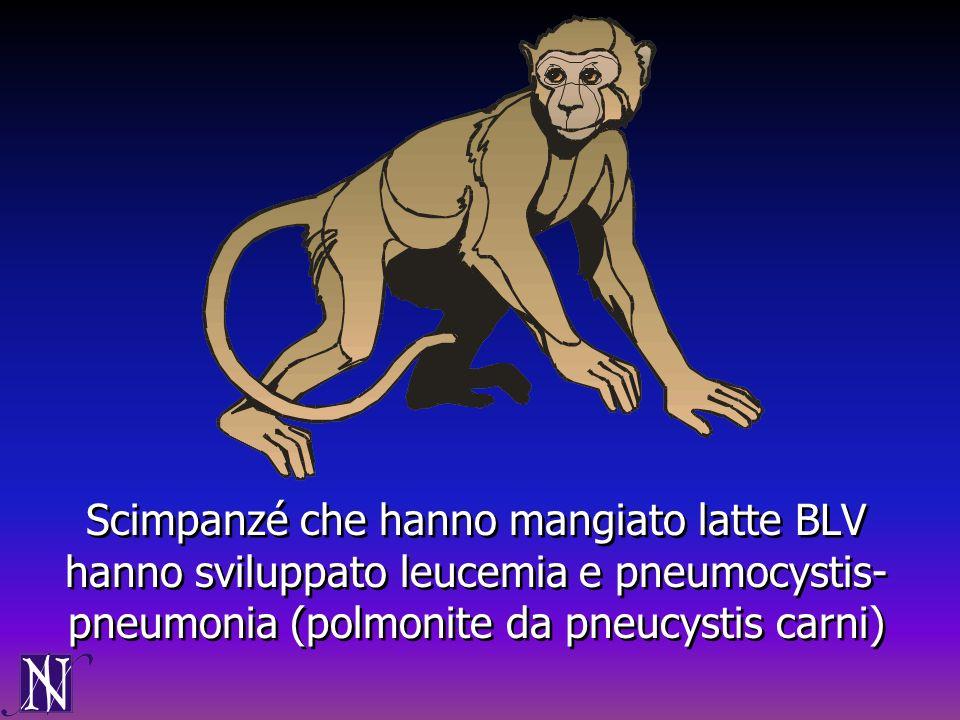 Scimpanzé che hanno mangiato latte BLV hanno sviluppato leucemia e pneumocystis-pneumonia (polmonite da pneucystis carni)