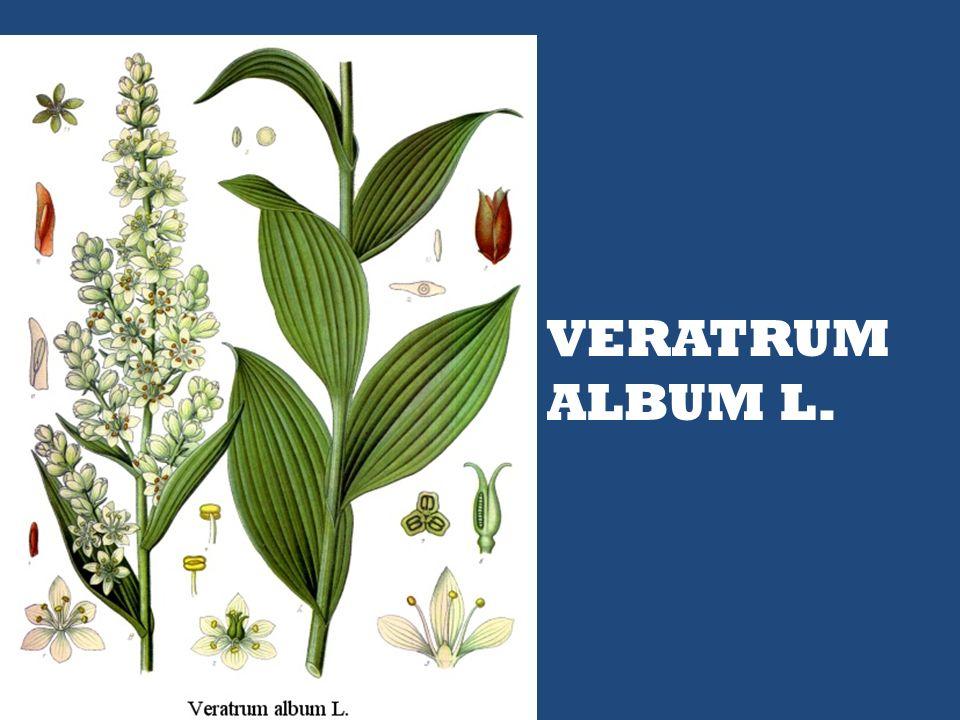 VERATRUM ALBUM L.