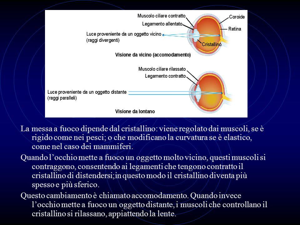 La messa a fuoco dipende dal cristallino: viene regolato dai muscoli, se è rigido come nei pesci; o che modificano la curvatura se è elastico, come nel caso dei mammiferi.
