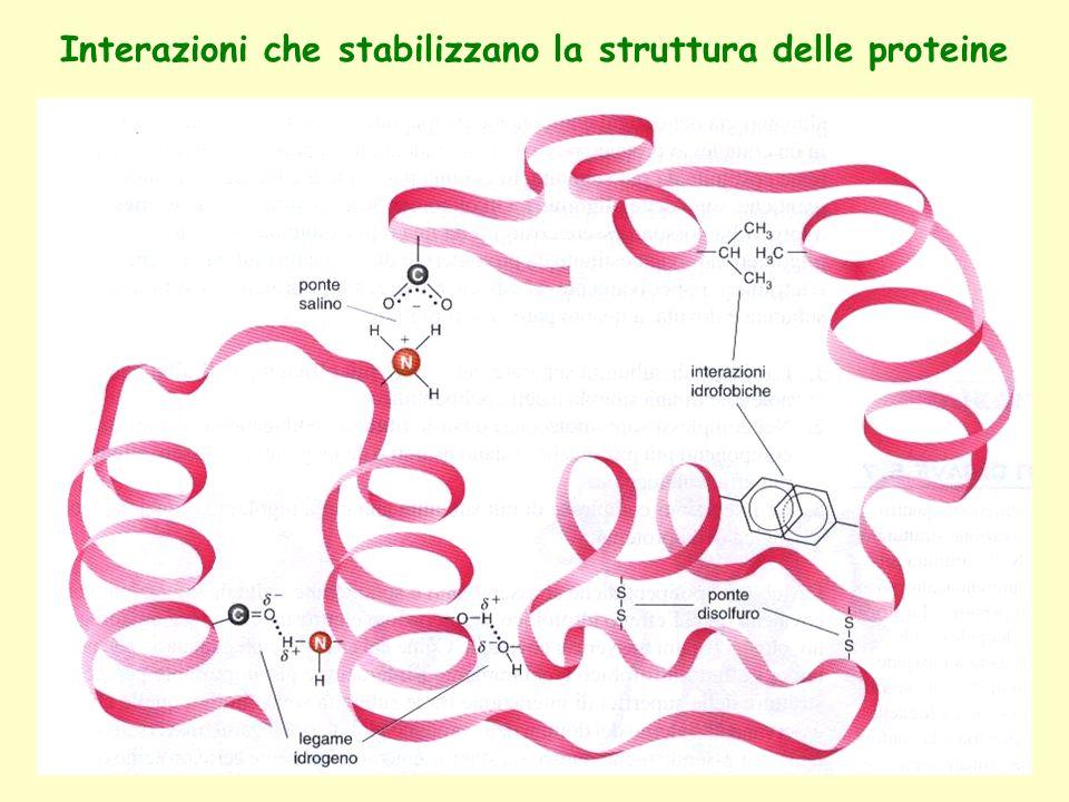 Interazioni che stabilizzano la struttura delle proteine