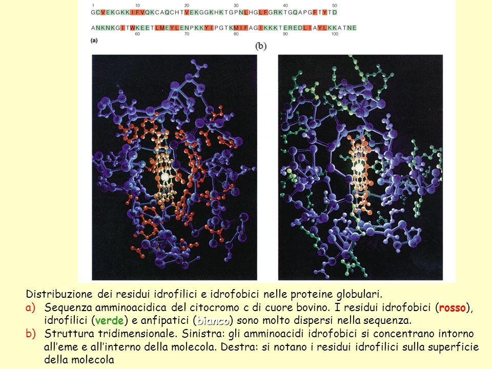 (b) Distribuzione dei residui idrofilici e idrofobici nelle proteine globulari.
