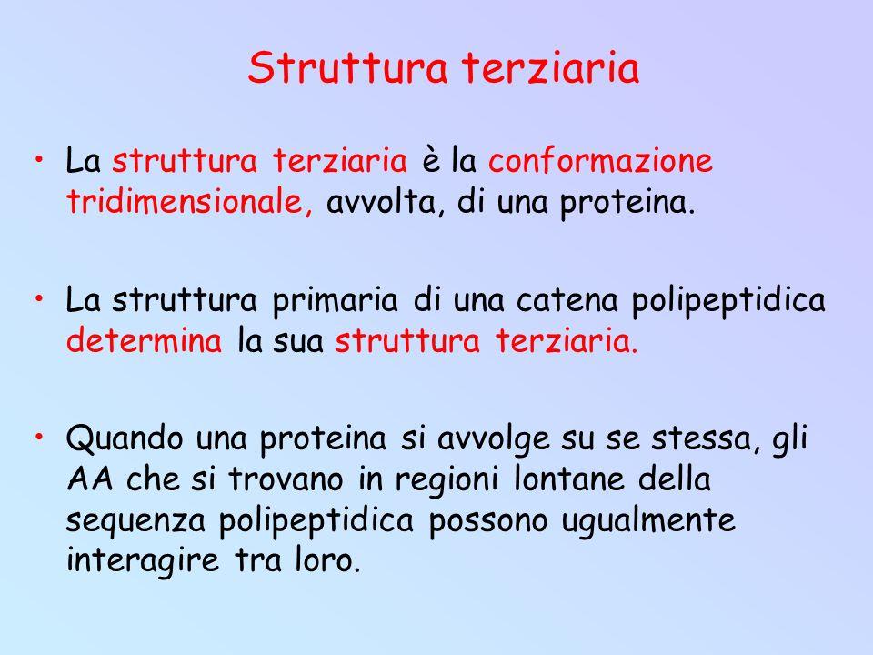 Struttura terziaria La struttura terziaria è la conformazione tridimensionale, avvolta, di una proteina.
