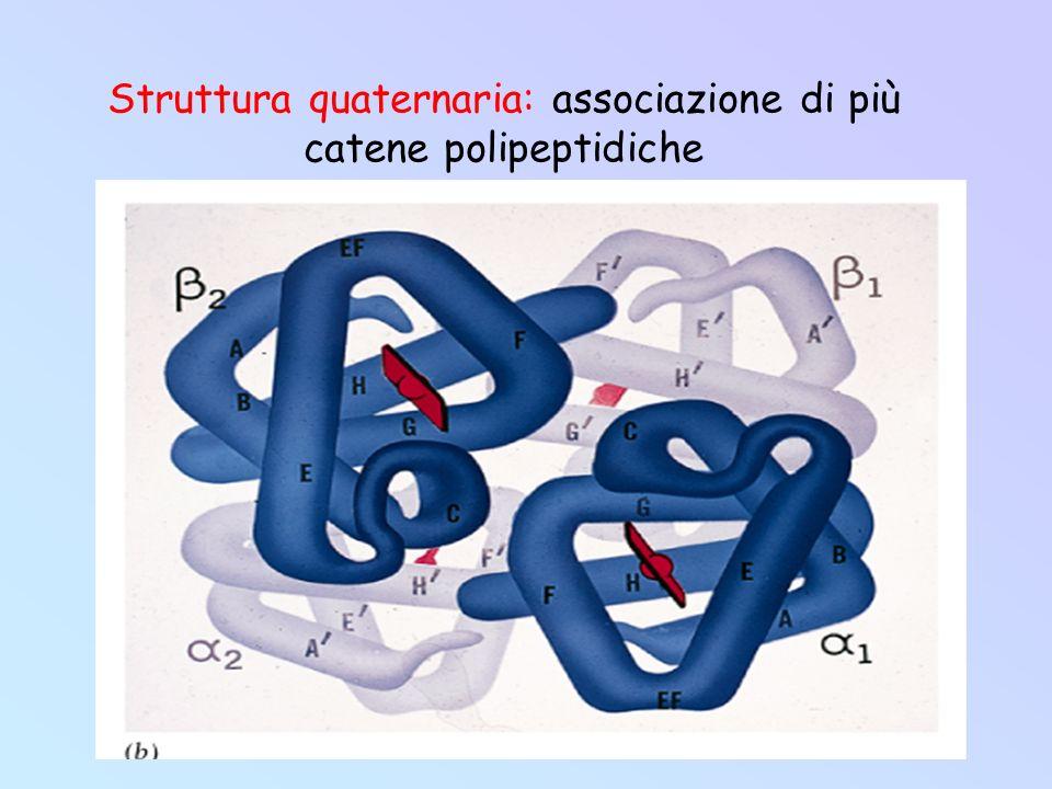 Struttura quaternaria: associazione di più catene polipeptidiche
