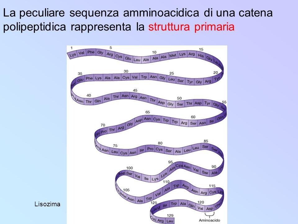 La peculiare sequenza amminoacidica di una catena polipeptidica rappresenta la struttura primaria