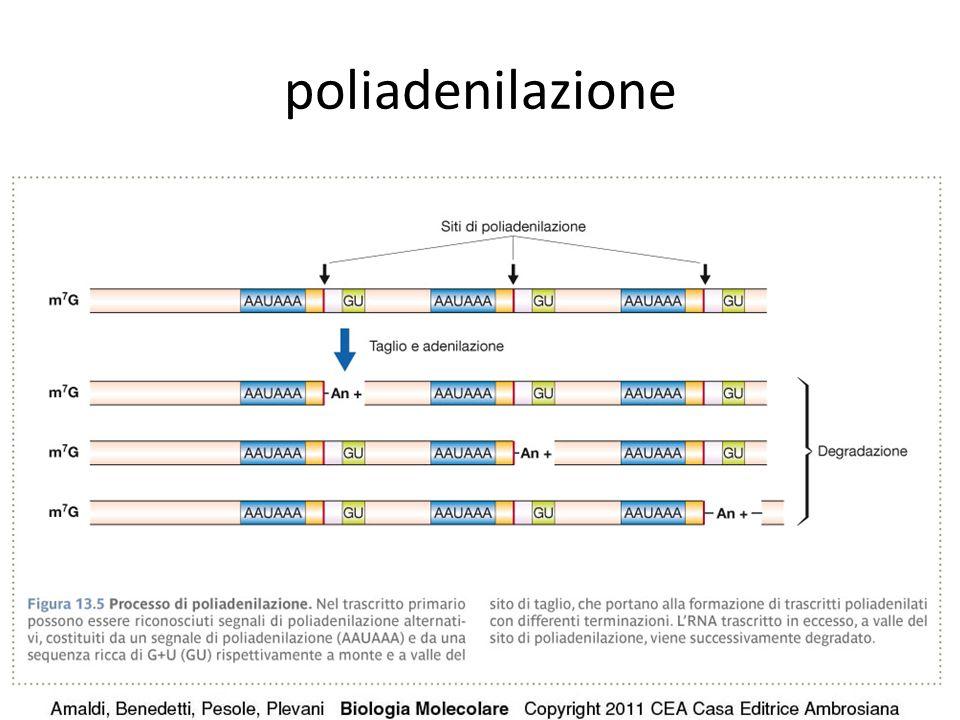 poliadenilazione