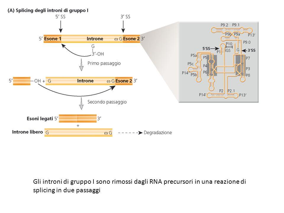 Gli introni di gruppo I sono rimossi dagli RNA precursori in una reazione di splicing in due passaggi