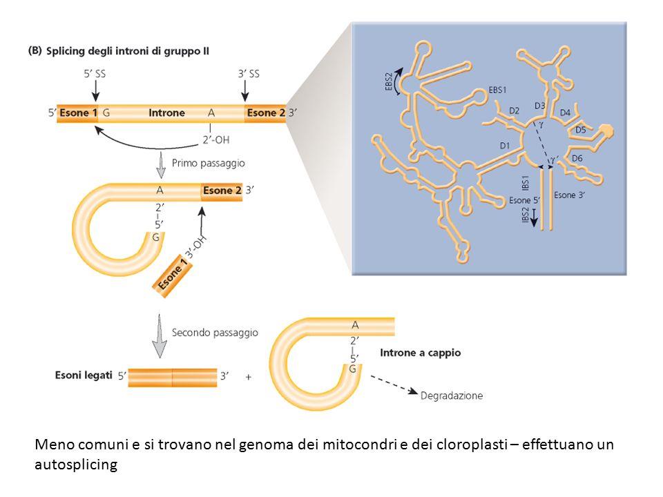 Meno comuni e si trovano nel genoma dei mitocondri e dei cloroplasti – effettuano un autosplicing