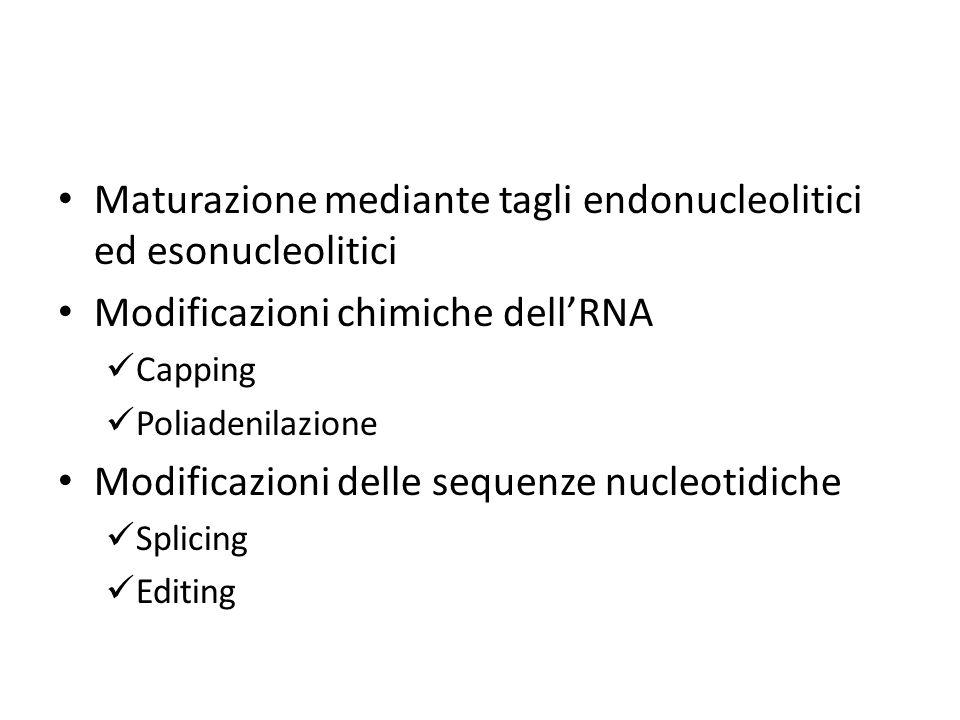 Maturazione mediante tagli endonucleolitici ed esonucleolitici