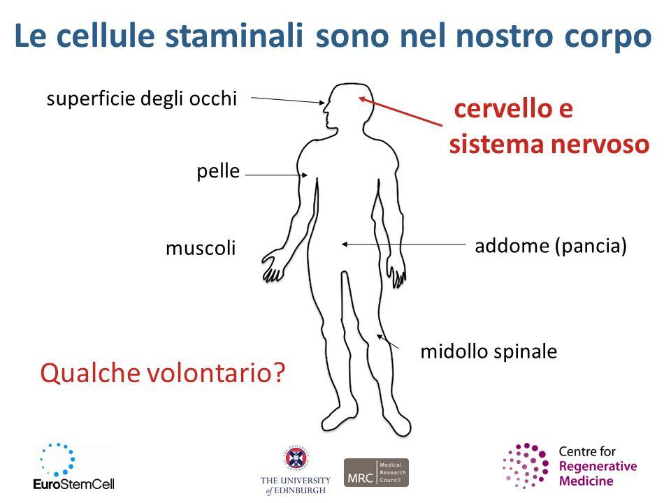 Le cellule staminali sono nel nostro corpo