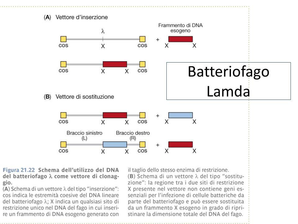 Batteriofago Lamda