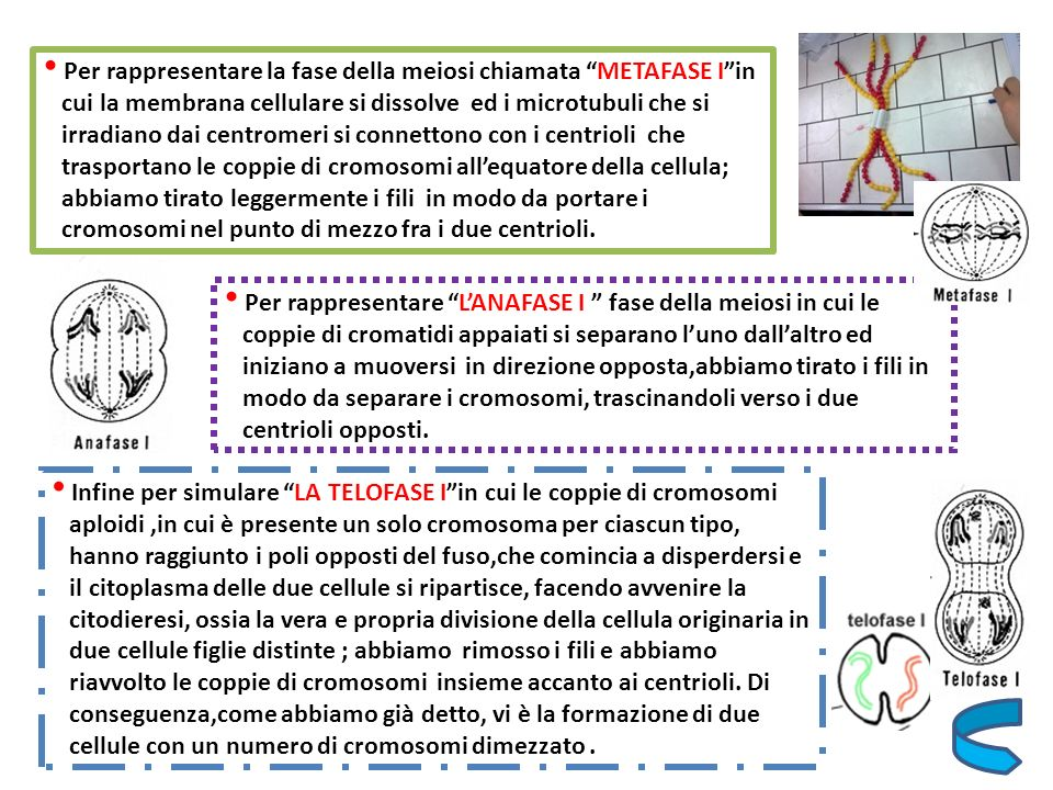 Per rappresentare la fase della meiosi chiamata METAFASE I in