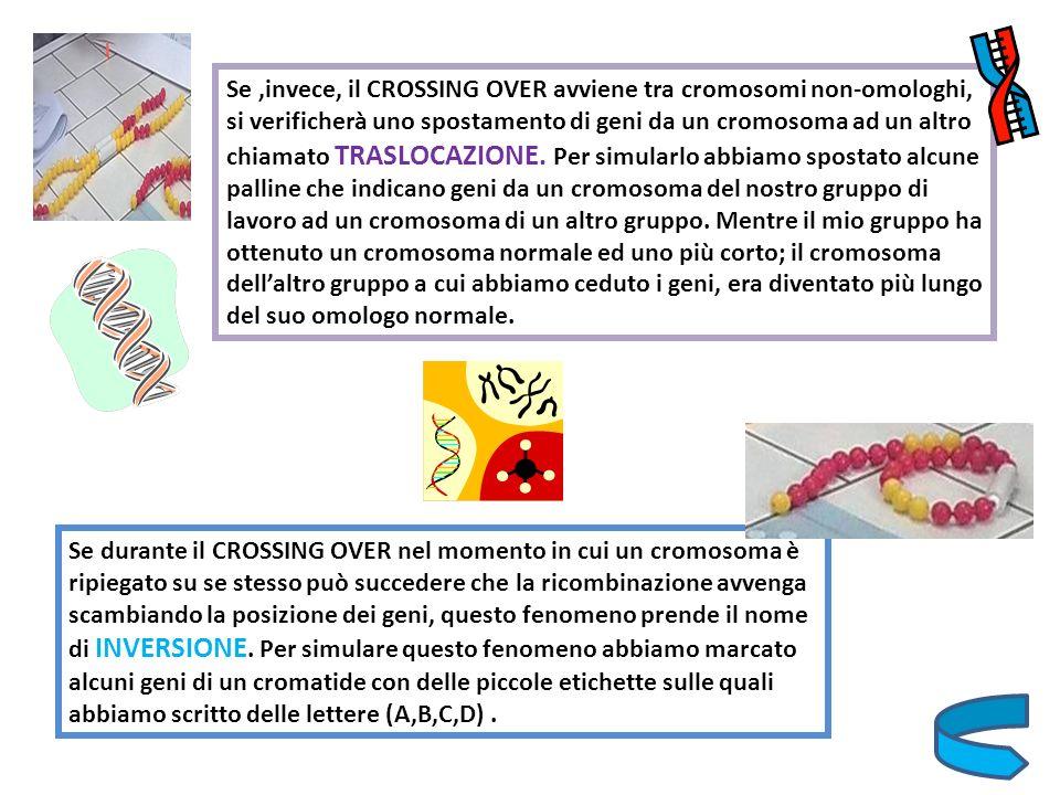 Se ,invece, il CROSSING OVER avviene tra cromosomi non-omologhi, si verificherà uno spostamento di geni da un cromosoma ad un altro chiamato TRASLOCAZIONE. Per simularlo abbiamo spostato alcune palline che indicano geni da un cromosoma del nostro gruppo di lavoro ad un cromosoma di un altro gruppo. Mentre il mio gruppo ha ottenuto un cromosoma normale ed uno più corto; il cromosoma dell'altro gruppo a cui abbiamo ceduto i geni, era diventato più lungo del suo omologo normale.
