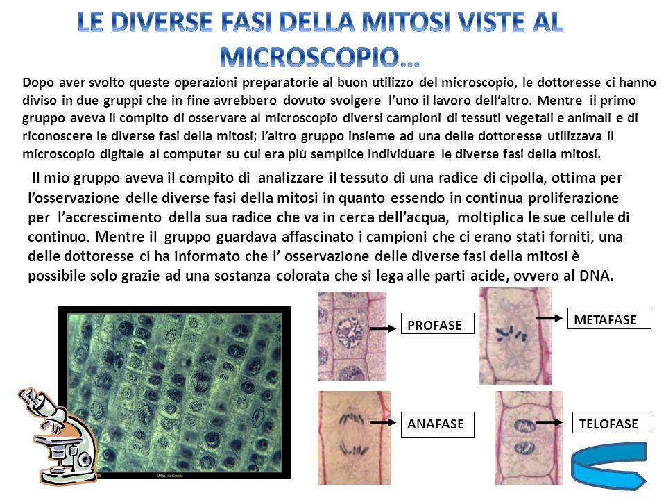 LE DIVERSE FASI DELLA MITOSI VISTE AL MICROSCOPIO…
