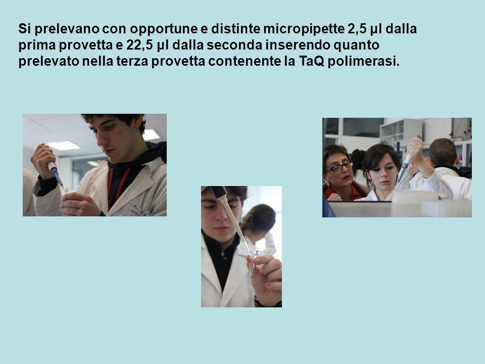 Si prelevano con opportune e distinte micropipette 2,5 μl dalla prima provetta e 22,5 μl dalla seconda inserendo quanto prelevato nella terza provetta contenente la TaQ polimerasi.