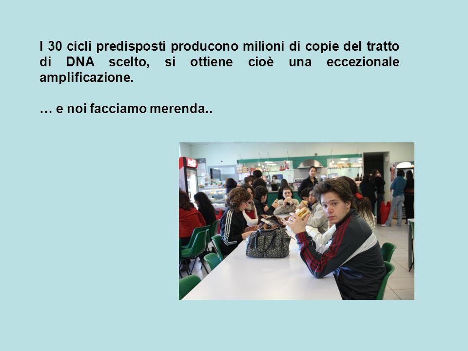 I 30 cicli predisposti producono milioni di copie del tratto di DNA scelto, si ottiene cioè una eccezionale amplificazione.