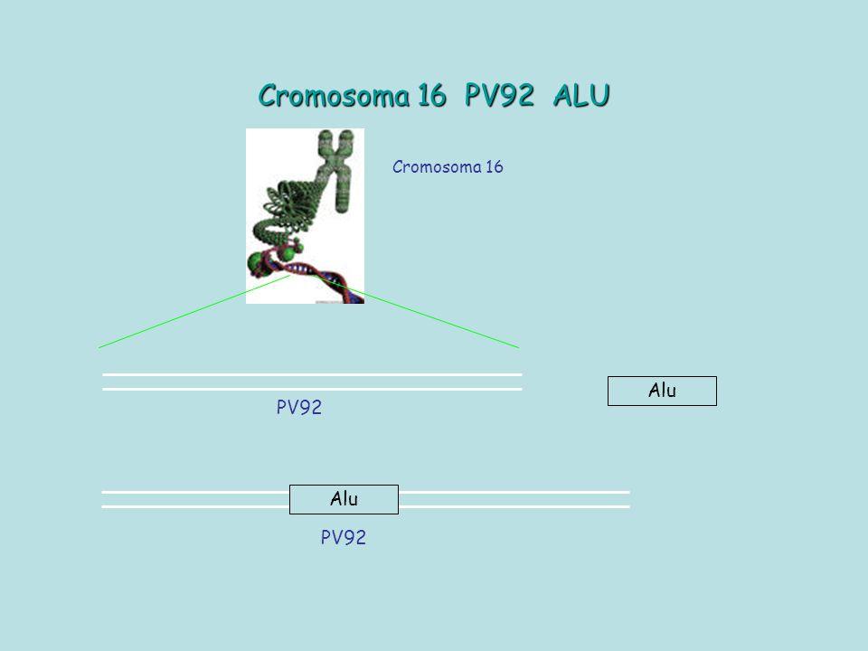 Cromosoma 16 PV92 ALU Cromosoma 16 Alu PV92 Alu PV92