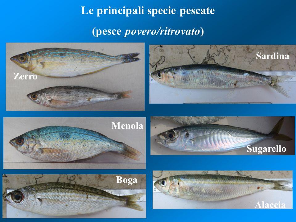 Le principali specie pescate (pesce povero/ritrovato)