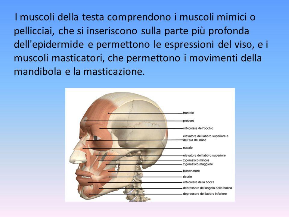 I muscoli della testa comprendono i muscoli mimici o pellicciai, che si inseriscono sulla parte più profonda dell epidermide e permettono le espressioni del viso, e i muscoli masticatori, che permettono i movimenti della mandibola e la masticazione.