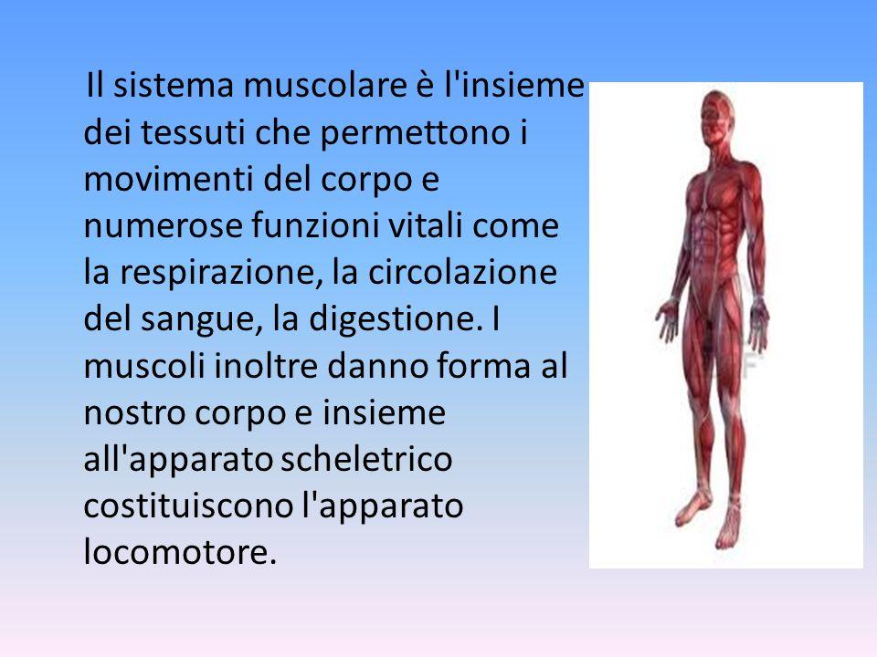 Il sistema muscolare è l insieme dei tessuti che permettono i movimenti del corpo e numerose funzioni vitali come la respirazione, la circolazione del sangue, la digestione.