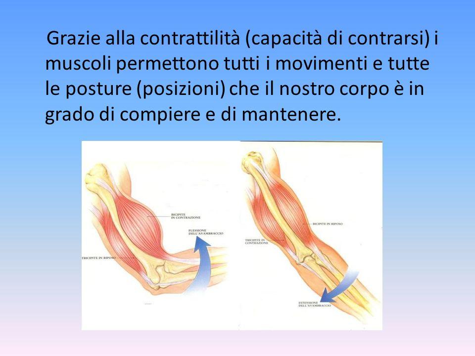 Grazie alla contrattilità (capacità di contrarsi) i muscoli permettono tutti i movimenti e tutte le posture (posizioni) che il nostro corpo è in grado di compiere e di mantenere.