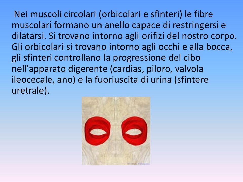 Nei muscoli circolari (orbicolari e sfinteri) le fibre muscolari formano un anello capace di restringersi e dilatarsi.
