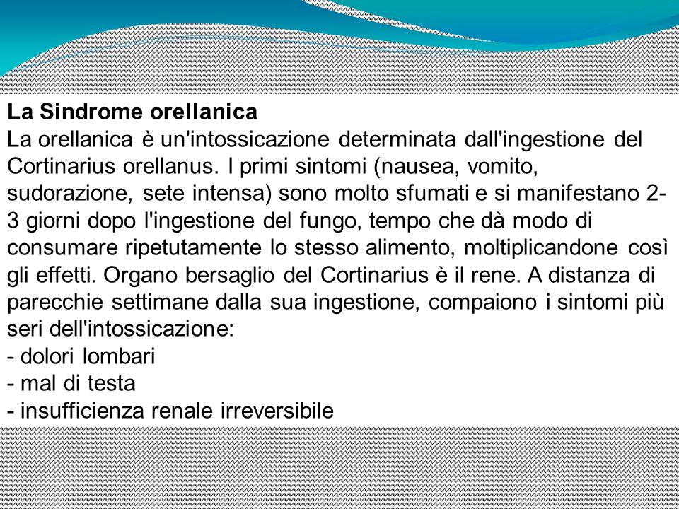 La Sindrome orellanica La orellanica è un intossicazione determinata dall ingestione del Cortinarius orellanus. I primi sintomi (nausea, vomito, sudorazione, sete intensa) sono molto sfumati e si manifestano 2-3 giorni dopo l ingestione del fungo, tempo che dà modo di consumare ripetutamente lo stesso alimento, moltiplicandone così gli effetti. Organo bersaglio del Cortinarius è il rene. A distanza di parecchie settimane dalla sua ingestione, compaiono i sintomi più seri dell intossicazione: - dolori lombari