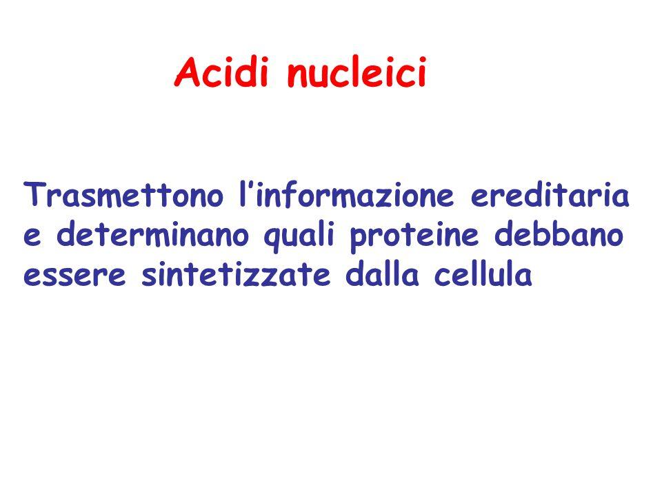 Acidi nucleici Trasmettono l'informazione ereditaria e determinano quali proteine debbano essere sintetizzate dalla cellula.